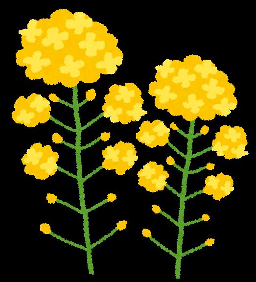 flower_nanohana.png